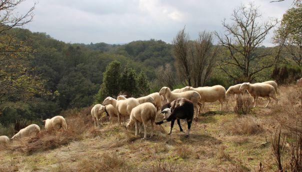 Des brebis tondeuses dans la lande creusoise